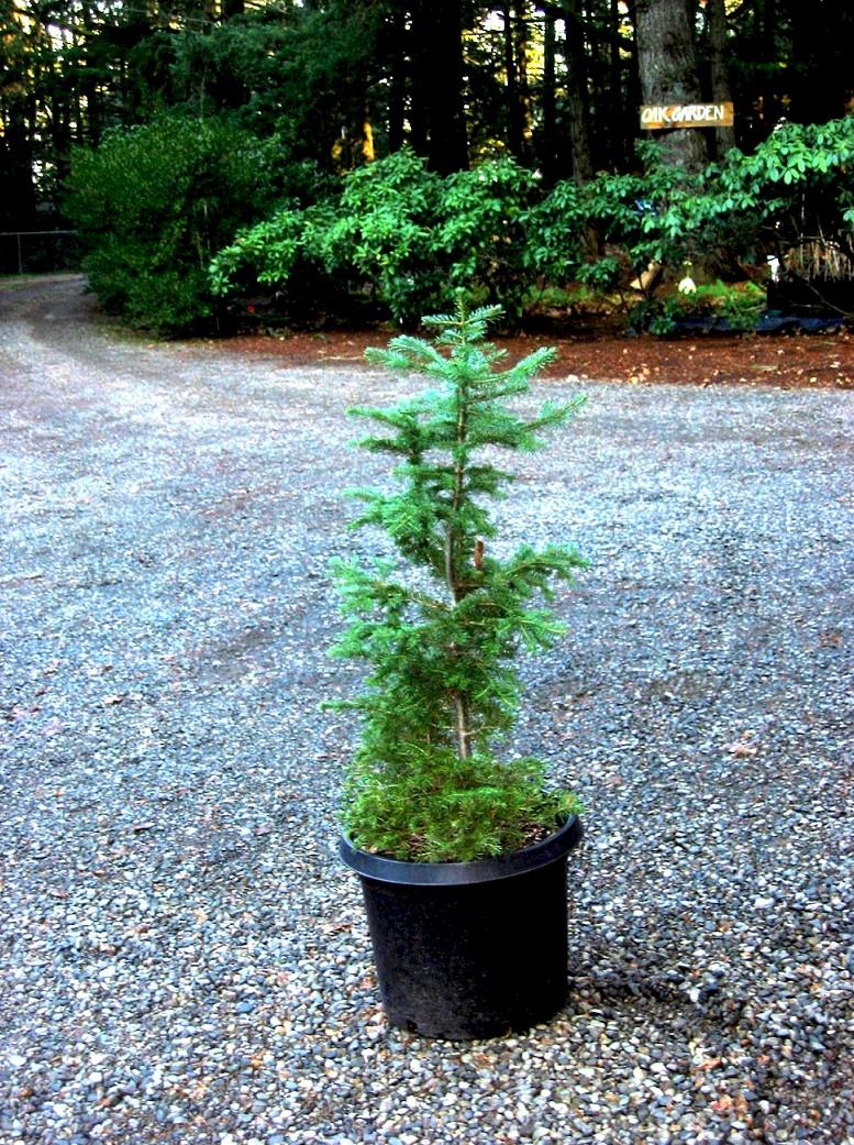 Subalpine Fir Abies Lasiocarpa Pacific Northwest Native Tree