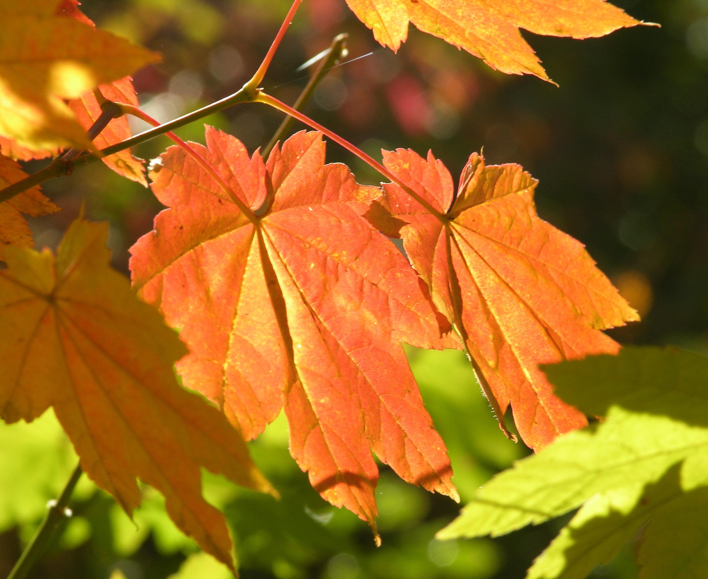 vine maple acer circinatum pacific northwest native tree