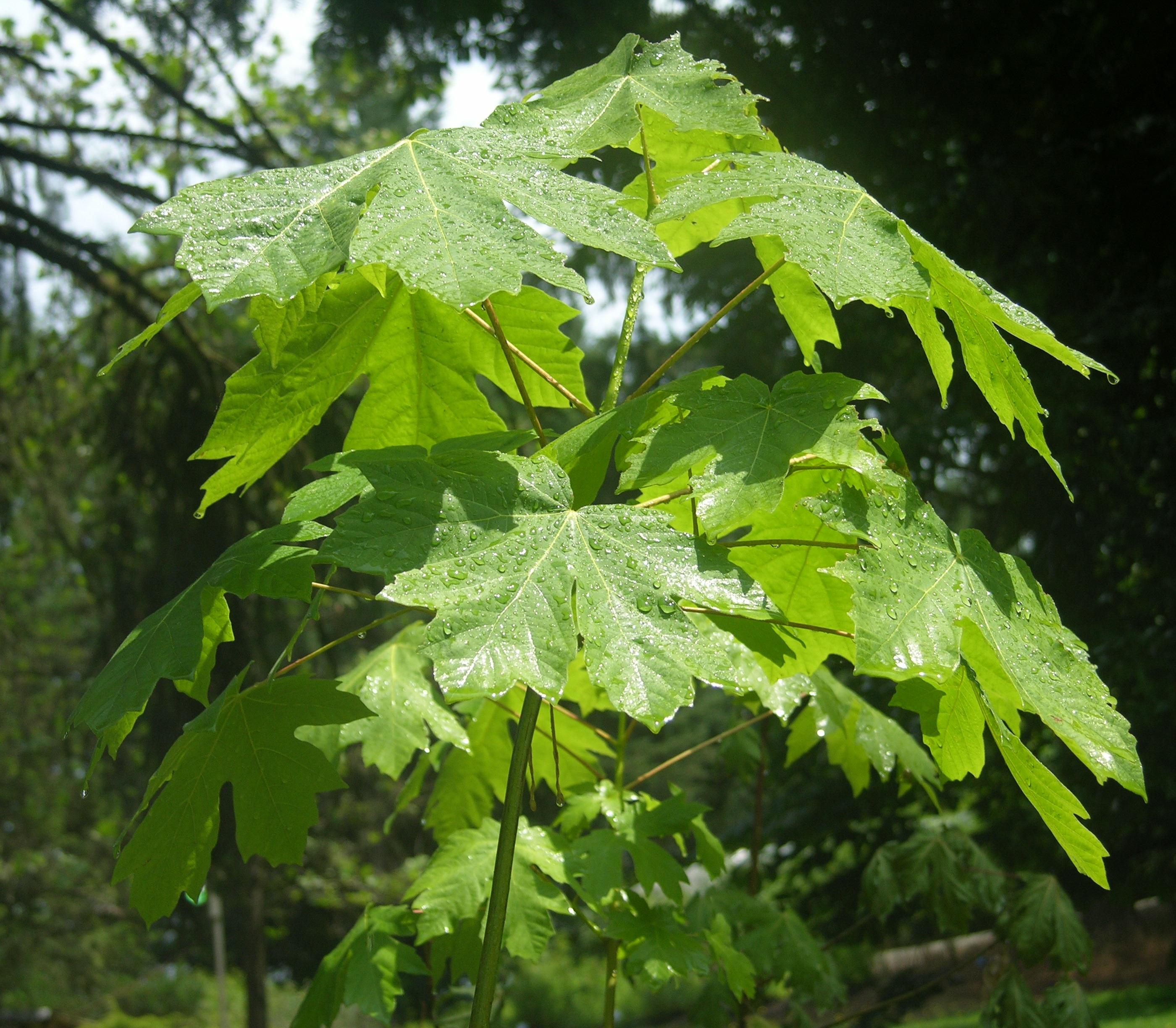 Big-Leaf Maple (Acer macrophyllum), Pacific northwest native tree on