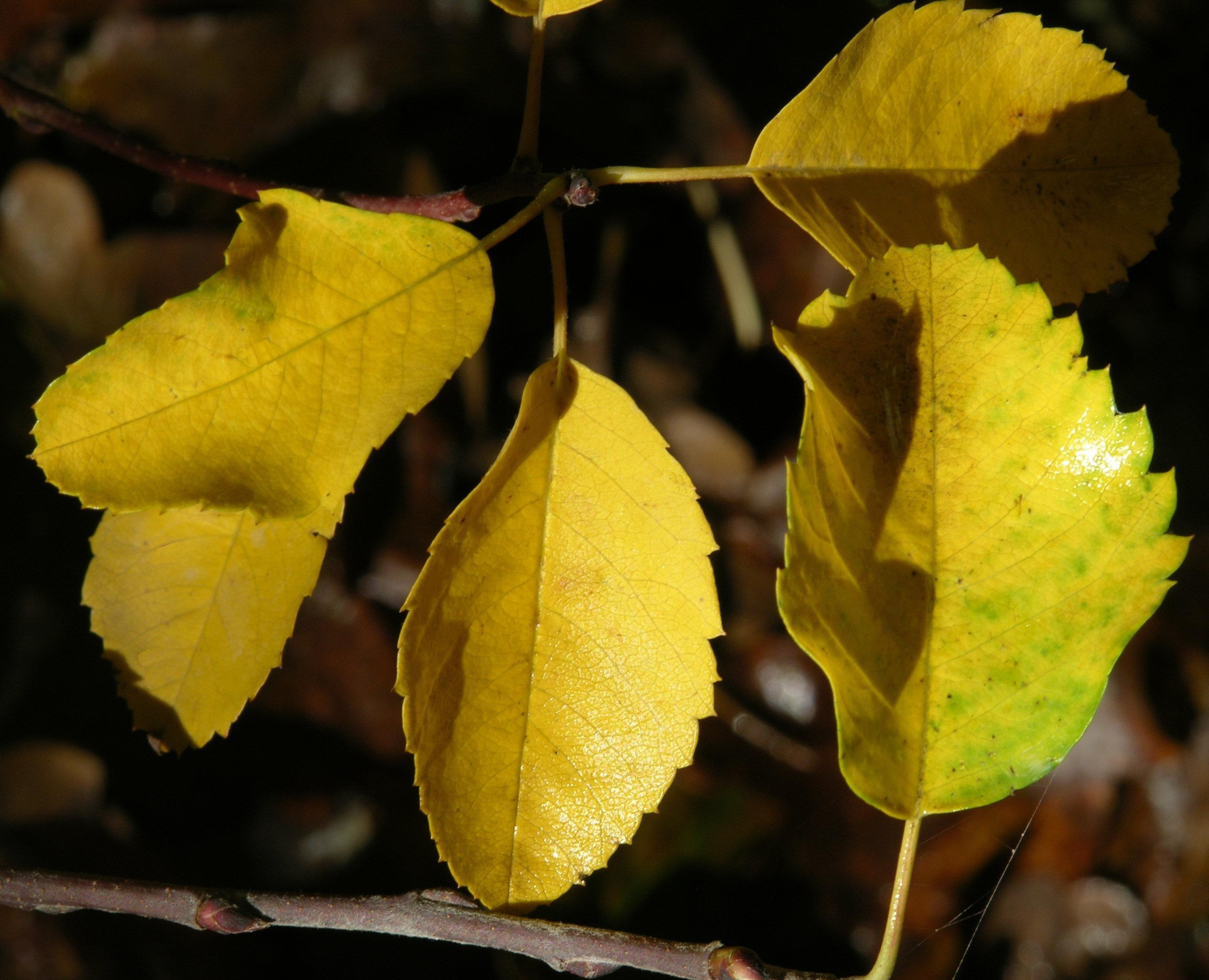 Serviceberry Saskatoon Amelanchier Alnifolia Pacific Northwest