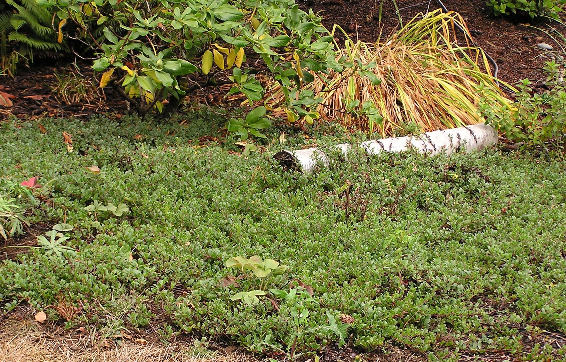 Kinnikinnick Bearberry Arctostaphylos Uva Ursi Pacific Northwest Native Shrub