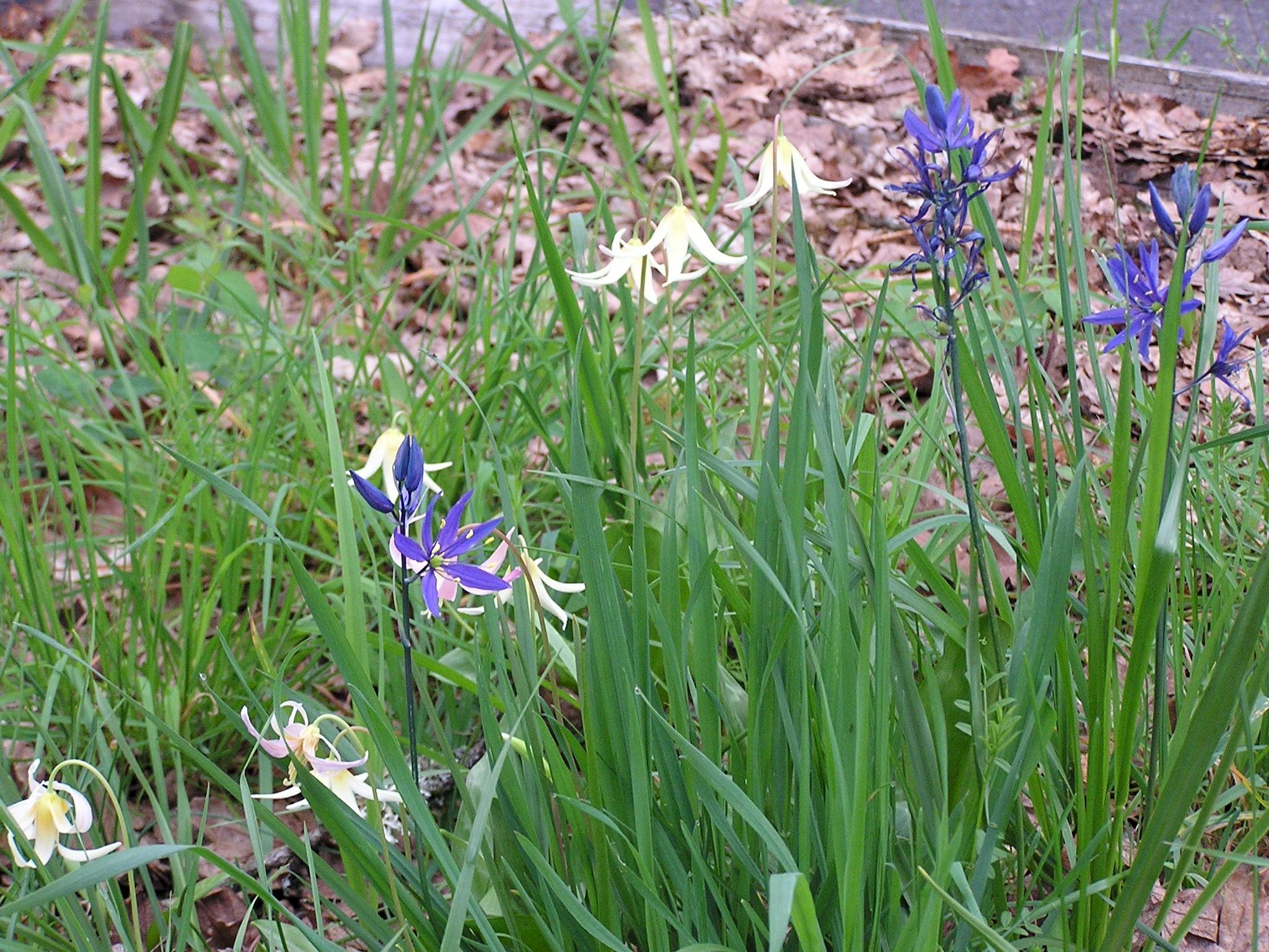Common camas indian hyacinth camassia quamash pacific northwest common camas indian hyacinth camassia quamash pacific northwest native perennial mightylinksfo
