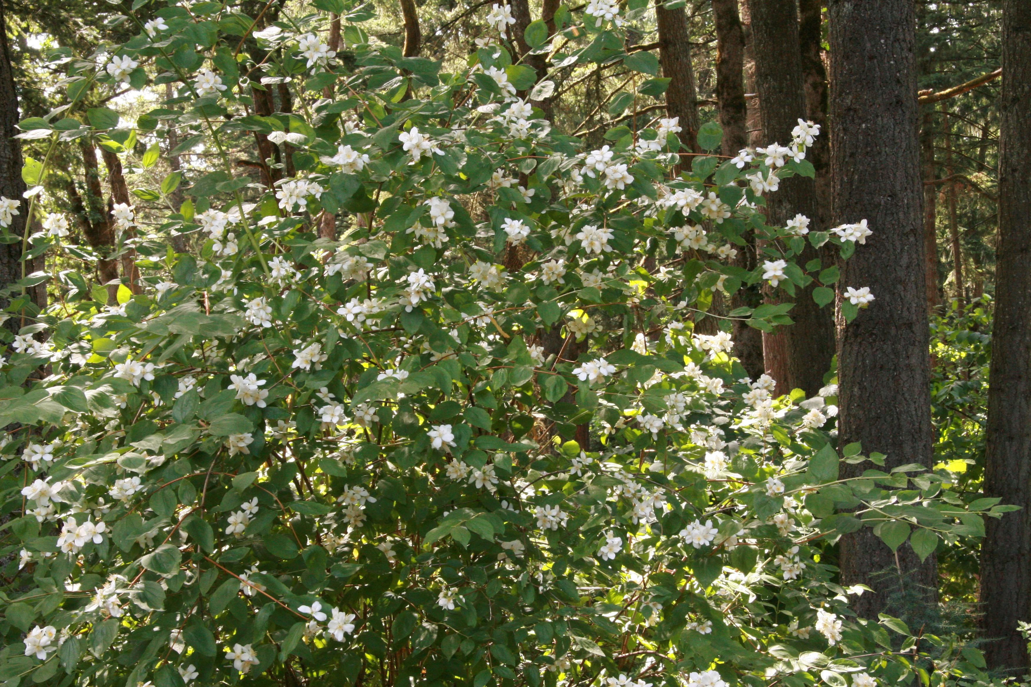 The Wild Garden Hansens Northwest Native Plant Database