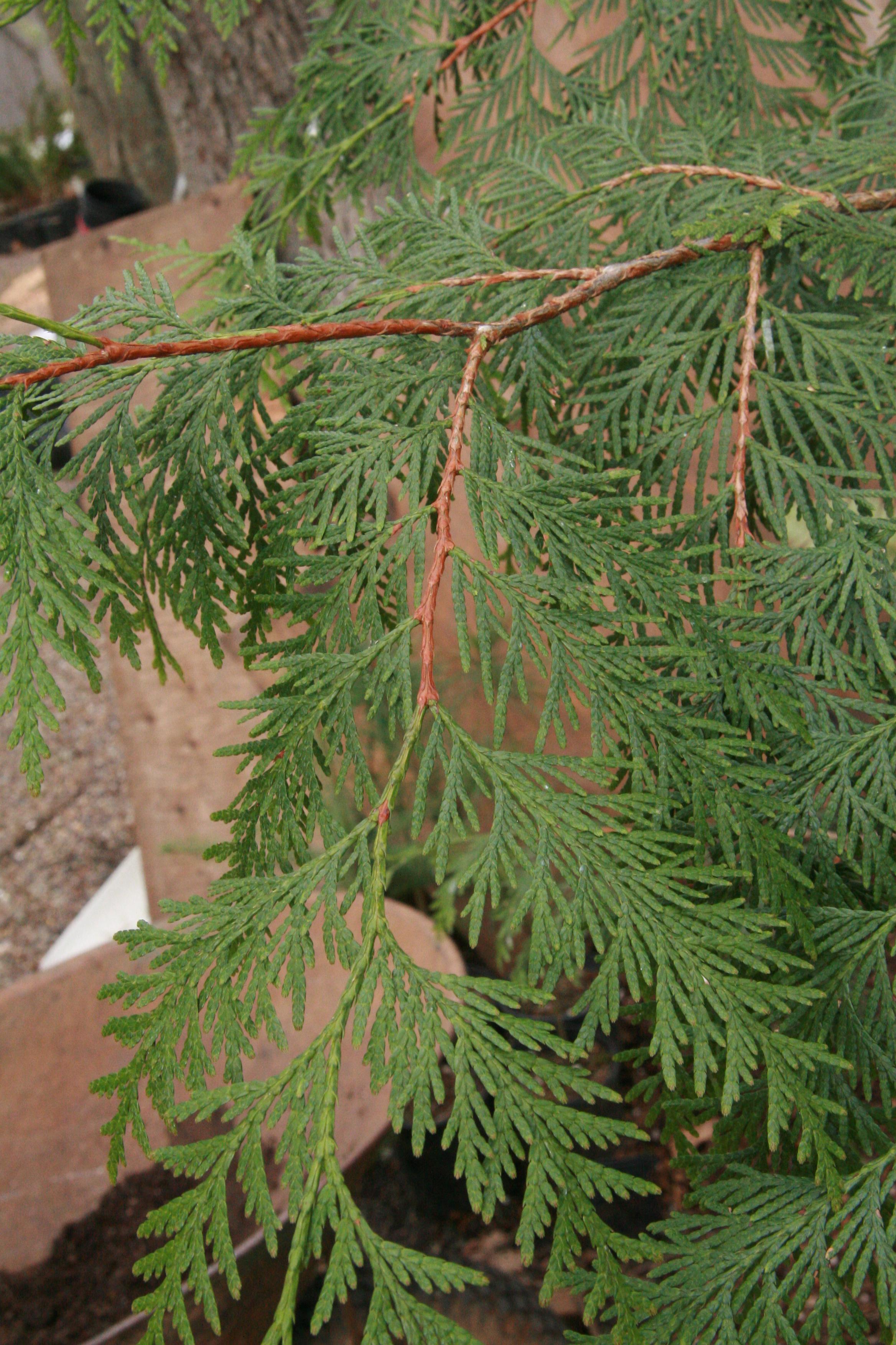 Western Red Cedar ~ The wild garden hansen s northwest native plant database