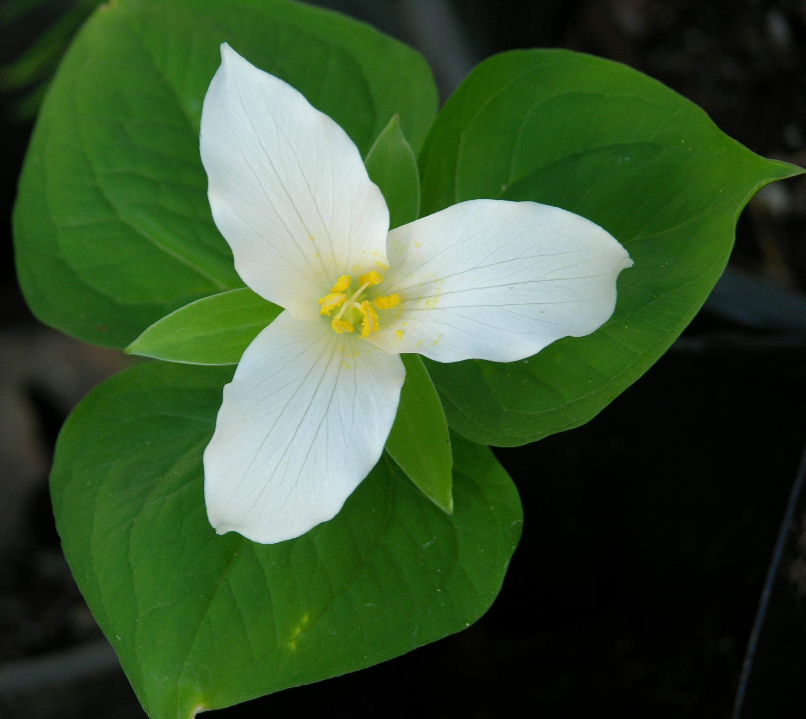 The Wild Garden Hansen s Northwest Native Plant Database