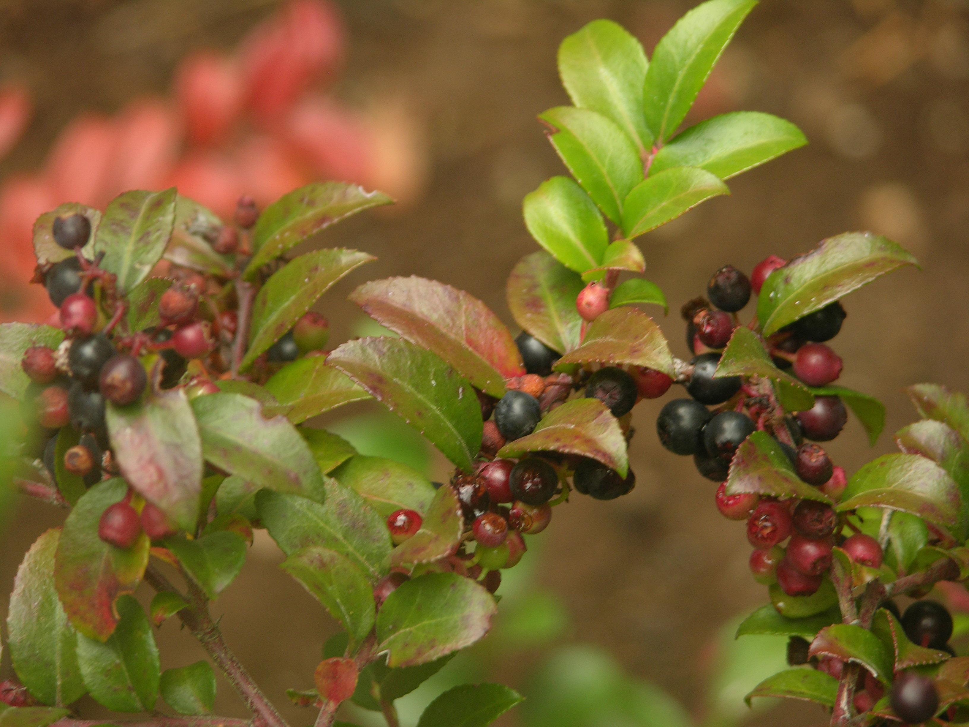 The Wild Garden: Hansen\'s Northwest Native Plant Database