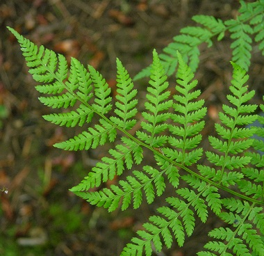 oregon green ferns - photo #29