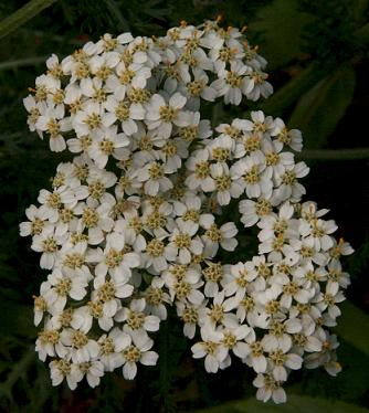 Commonyarrow Flowers on Genus Achillea L Yarrow Species Achillea Millefolium L Common Yarrow