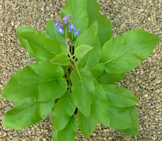 Cynoglossum Grande Cynoglossum Grande Douglas ex