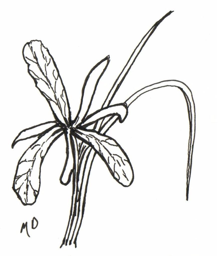the wild garden hansen u0027s northwest native plant database