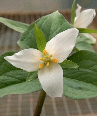 Pacific Northwest Native Flowers - Garden Inspiration
