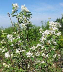 Serviceberry saskatoon amelanchier alnifolia pacific northwest amelanchier alnifolia nutt nutt ex m roem saskatoon serviceberry altavistaventures Images