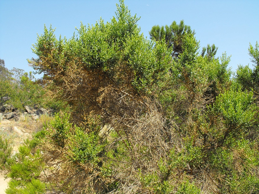 Coyote Brush Chaparral Coyote Bush (Baccharis...