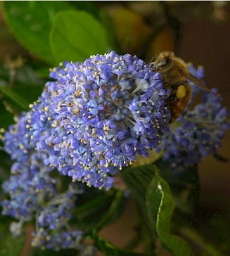 Quite Tolerant Of Shade The Blue Flowers Are Outstanding They Can Also Vary From Pale To White And Many Shades