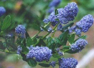 The wild garden hansens northwest native plant database be useful to professional growers and all native plant gardeners this list began from a flyer lawyer nursery published in 2002 and grew from there publicscrutiny Image collections