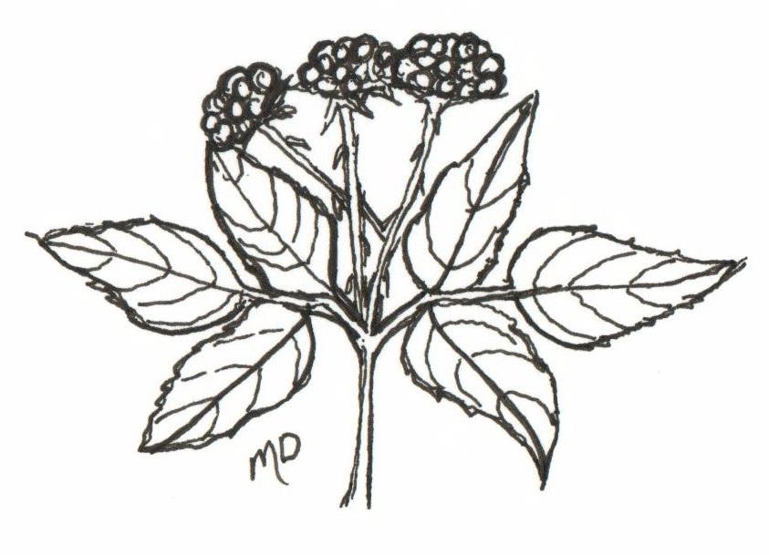 the wild garden  hansen u0026 39 s northwest native plant database