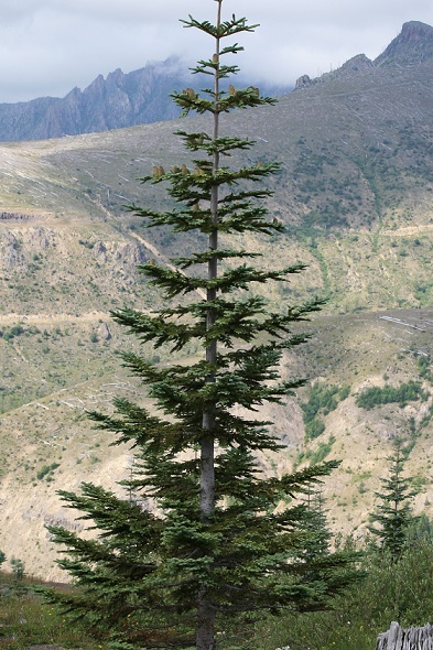 Noble Fir Abies Procera Pacific Northwest Native Tree