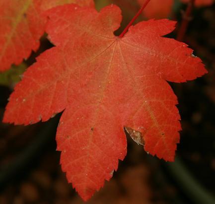 Vine Maple (Acer circinatum), Pacific northwest native tree on