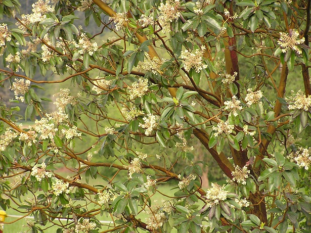 Pacific madrone arbutus menziesii pacific northwest native tree many folks have tried growing madrone on their own and many have failed but with careful establishment you can have a madrone in your own yard to enjoy publicscrutiny Images