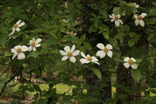 The wild garden hansens northwest native plant database mightylinksfo